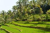 Terrazas, bali, indonesia del arroz — Foto de Stock