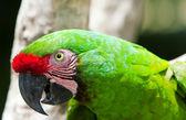 明亮金刚鹦鹉鹦鹉 — 图库照片