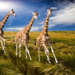 Three giraffes run on field — Stock Photo #5119365
