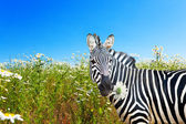 Zebra with a camomile in a mouth on a blossoming meadow — Stock Photo