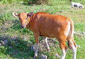 Calf on a solar meadow — Stock Photo
