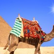 Camel — Stock Photo #4012150
