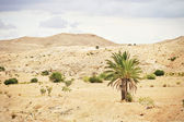 Palm tree in the desert — Stock Photo