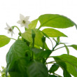 White flower — Stock Photo #4775664