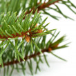 Pine tree branch — Stock Photo #4107820