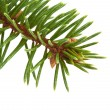 Pine tree branch — Stock Photo #4107853