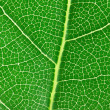Stock Photo: Laurel leaf