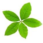 Laurel leaf — Stock Photo #5195000