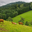 Cows on the meadows — Stock Photo