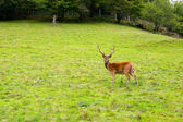 Deer in the wilderness, Black Forest, Germany — Stock Photo