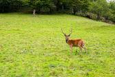 Herten in de wildernis, zwarte woud, duitsland — Stockfoto