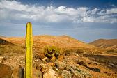 Cactus à fuerteventura, îles canaries — Photo