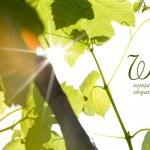 hojas verdes de vino — Foto de Stock
