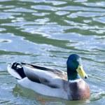 Beautiful Duck — Stock Photo