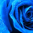 Macro blue rose — Stock Photo
