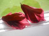 красный дуб листья на окне. — Стоковое фото