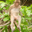 Macaque — Stockfoto #5282737