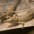 Two crocodiles — Stock Photo #5286910