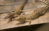 Two crocodiles — Stock Photo