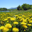 Dandelions — Stock Photo #4038639