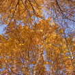Stock Photo: Branches of birch in mellow autumn
