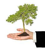 Pine tree in hand — Stock Photo