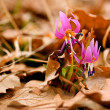 Stock Photo: Erythronium flower