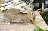 Rabbit eats carrot — Stock Photo