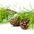 Cedar branch with cones - Stock Photo