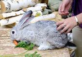 Rabbit eats carrot — Stock Photo