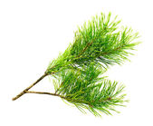 Cedar branch — Stock Photo