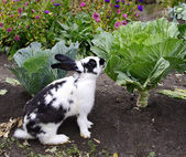 Rabbit eats cabbage — Stock Photo