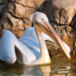 Pelican swimming on a pond — Stock Photo