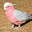 Pink and grey parrot walking on grass — Stock Photo