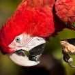 Red Parrot inspecting its claws — Stock Photo