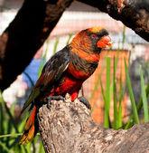 Czarny i czerwony papuga — Zdjęcie stockowe