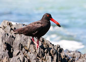 African Oyster Catcher sitting on a rock with his food — Stock Photo