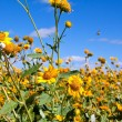 Stock Photo: Field of yellow wild flowers