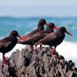 AfricOyster Catchers sitting on jagged rock — Stock Photo #4567195