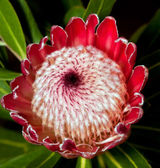 Macro of red protea centre from the top — Stock Photo