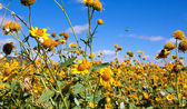 Field of yellow wild flowers — Stock Photo