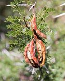 Thorn bush nasiona — Zdjęcie stockowe