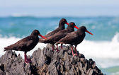 African Oyster Catchers sitting on a jagged rock — Stock Photo