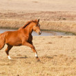 Chestnut horse running - Stock Photo