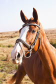 Portrait of chestnut horse — Stock Photo