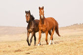 Dark brown and chestnut horses — Stock Photo