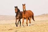 Dark brown and chestnut horses — Stock Photo