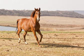 Chestnut horse running — Stock Photo