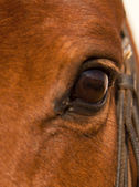 Portrait closeup of brown horse eye with white patch — Stock Photo