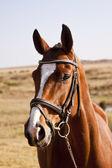 Ciemny brązowy koń stoi — Zdjęcie stockowe